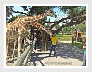 Feeding giraffes, Lion Park, Cradle of Humankind