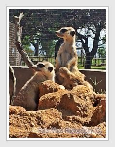 Meerkats, Lion Park, Cradle of Humankind, Half day tour