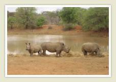 Rhinos, wildlife / game on a private game reserve kruger park tour