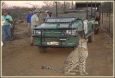 Wildlife Rehabilitation and Breeding - with the legacy of Savanna the domesticated Cheetah